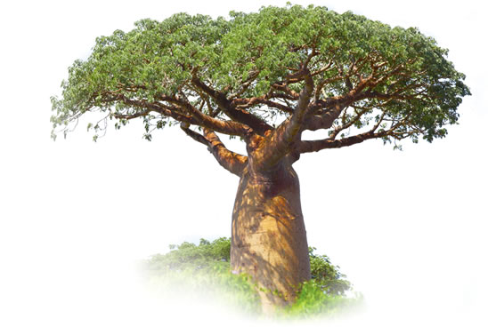 Organic Baobab Fruit Powder Detox Trading Cheap Superfoods