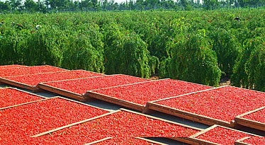 Goji Berry Drying