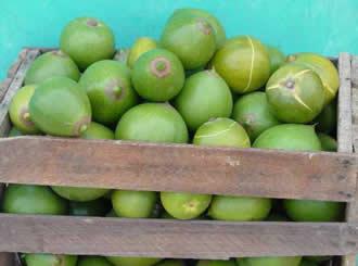 Lucuma پھل