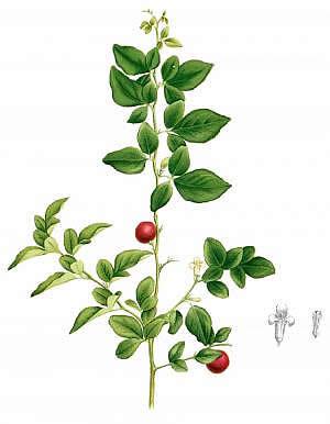Organic Triphala Powder | Ayurvedic Laxative | Three Herb
