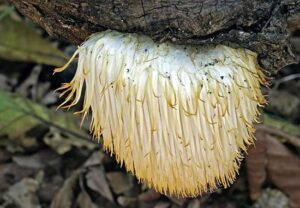 Lions Mane Mushrooms