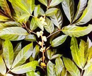 Muria-Puama-tree