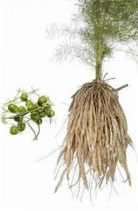 Shatavari root