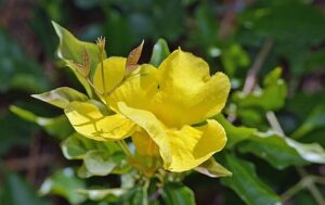cats-claw-flower