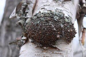 Chaga on Birch Tree