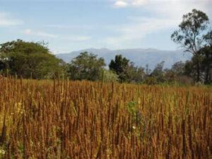 chia field