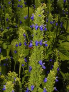 chia-plant (1)