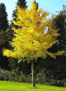 ginkgo-biloba-tree