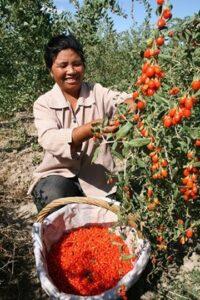 goji harvest