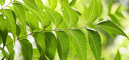 Neem powder leaves