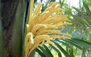 palm-sugar-plant