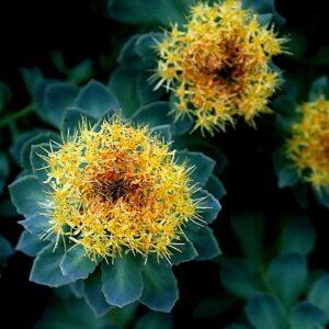 rhodiola-rosea-flower