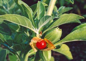 withania-somnifera-berry