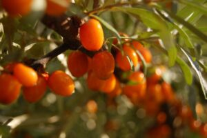 The benefits of rosehip - stay young, stay active, stay healthy
