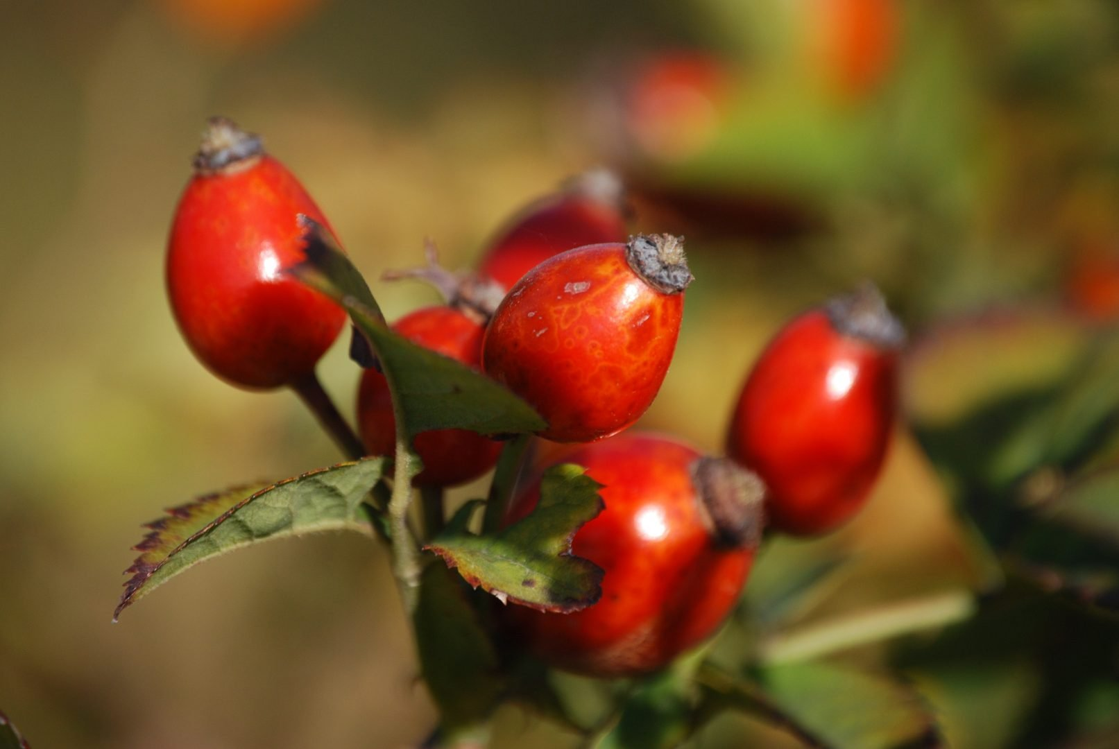 the-benefits-of-rosehip